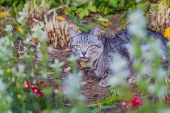 Piękny szary tabby kot z kolorem żółtym ono przygląda się i brązu nos jest w ogródzie Obraz Stock