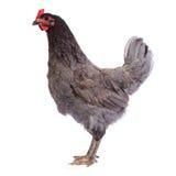 Piękny szary thoroughbred kurczak odizolowywający Zdjęcia Stock