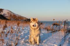 Piękny, szczęśliwy i bezpłatny siberian husky psa obsiadanie na wzgórzu przy zmierzchem na tle, fotografia stock