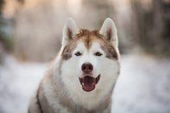 Piękny, szczęśliwy i bezpłatny siberian husky psa obsiadanie w zima lesie, obrazy stock