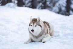 Piękny, szczęśliwy i bezpłatny Syberyjskiego husky psa lying on the beach na śnieżnej ścieżce w zima lesie przy zmierzchem, obrazy royalty free