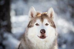 Piękny, szczęśliwy i bezpłatny Syberyjskiego husky psa obsiadanie na śniegu w czarodziejskim lesie w zimie, zdjęcie stock