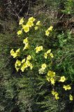 Piękny szczawika pes kwiat w ogródzie zdjęcia royalty free