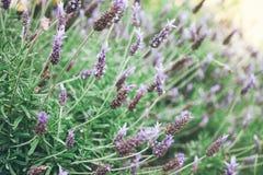 Piękny szczegół perfumowy lawendowy kwiatu pole Fotografia Stock