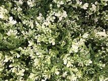 Piękny sztuczny zielonej rośliny ściany tło i tekstura Fotografia Royalty Free