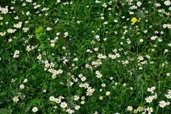 Piękny tło białe stokrotki w zielonej trawie obraz royalty free
