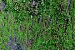 Piękny tło zakrywający z zielonym mech stary dąb obrazy royalty free