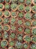Piękny Tłustoszowaty kaktus Obraz Royalty Free