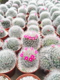 Piękny Tłustoszowaty kaktus Zdjęcie Royalty Free
