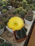 Piękny Tłustoszowaty kaktus Zdjęcie Stock