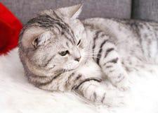 Piękny tabby kot kłama Zarodowy kot Szkocki, Zdjęcia Royalty Free