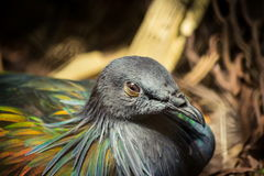 Piękny Tajlandzki Nicobar gołębia ptak Zdjęcie Royalty Free