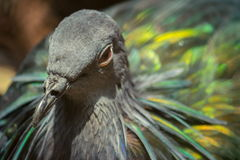 Piękny Tajlandzki Nicobar gołębia ptak Zdjęcia Royalty Free