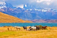 Piękny thoroughbred konia pasanie Fotografia Stock
