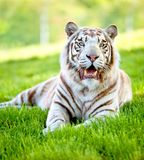 piękny tigger Fotografia Stock