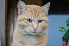 Piękny Tomcat portret obraz stock