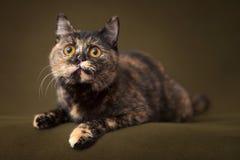 Piękny tortoiseshell kot z żółtymi oczami obrazy royalty free