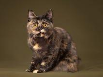Piękny tortoiseshell kot z żółtymi oczami zdjęcie royalty free