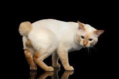 Piękny traken bez ogonu Mekong Bobtail kota Odizolowywał Czarnego tło Obrazy Stock