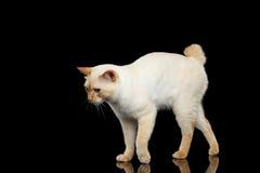 Piękny traken bez ogonu Mekong Bobtail kota Odizolowywał Czarnego tło Zdjęcie Royalty Free