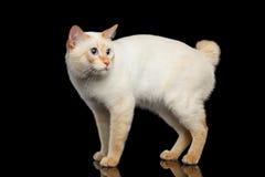 Piękny traken bez ogonu Mekong Bobtail kota Odizolowywał Czarnego tło Zdjęcia Stock