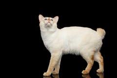 Piękny traken bez ogonu Mekong Bobtail kota Odizolowywał Czarnego tło Zdjęcie Stock