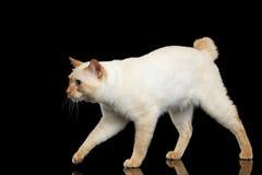 Piękny traken bez ogonu Mekong Bobtail kota Odizolowywał Czarnego tło Zdjęcia Royalty Free