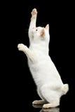 Piękny traken bez ogonu Mekong Bobtail kota Odizolowywał Czarnego tło Fotografia Royalty Free