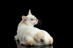 Piękny traken bez ogonu Mekong Bobtail kota Odizolowywał Czarnego tło Obraz Stock