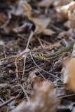 Piękny trawa wąż w ostatni rok jesieni liściach Obrazy Stock