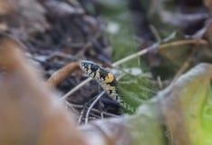 Piękny trawa wąż w ostatni rok jesieni liściach Fotografia Stock