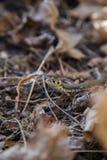 Piękny trawa wąż w ostatni rok jesieni liściach Obraz Royalty Free