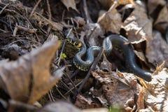 Piękny trawa wąż w ostatni rok jesieni liściach Zdjęcia Stock