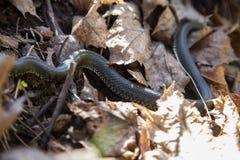 Piękny trawa wąż w ostatni rok jesieni liściach Fotografia Royalty Free