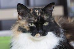 Piękny tricolor kot, biały wąsy Portret zdjęcie royalty free