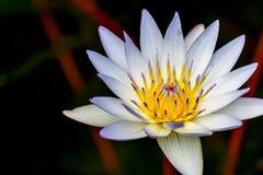Piękny Tropikalny Biały Wodnej lelui kwiat Fotografia Stock