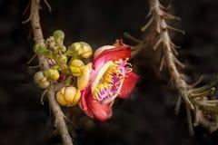 Piękny tropikalny działo piłki kwiatu drzewny dorośnięcie w lesie tropikalnym Obraz Royalty Free