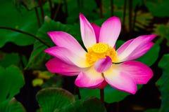 Piękny tropikalny kolorowy kwiat w las tropikalny dżungli w wschodnim Asia zdjęcia stock
