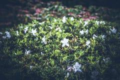 Piękny tropikalny kwiatu tło na Bali wyspie, Indonezja Zamyka kwiat kwiaty Zdjęcie Stock