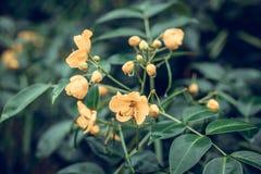 Piękny tropikalny kwiatu tło na Bali wyspie, Indonezja Zamyka kwiat kwiaty Obraz Stock