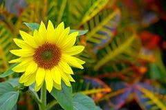 Piękny tropikalny słonecznik Zdjęcia Royalty Free