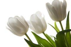 piękny tulipanowy biel zdjęcia royalty free