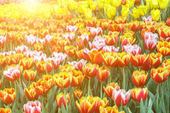 Piękny tulipanowy kwiatu i zieleń liścia tło w ogródzie Fotografia Stock