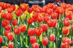 Piękny tulipanowy kwiatu i zieleń liścia tło w ogródzie Zdjęcia Royalty Free