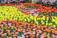 Piękny tulipanowy kwiatu i zieleń liścia tło w ogródzie Obraz Stock