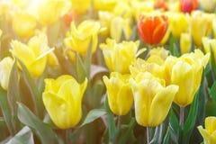 Piękny tulipanowy kwiatu i zieleń liścia tło w ogródzie Obrazy Stock