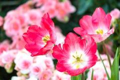 Piękny tulipanowy kwiatu, zieleń liścia tło w ogródzie przy dniem i Obraz Stock