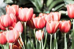 Piękny tulipanowy kwiatu, zieleń liścia tło w ogródzie przy dniem i Obraz Royalty Free