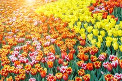 Piękny tulipanowy kwiatu, zieleń liścia tło w ogródzie przy dniem i Zdjęcia Royalty Free