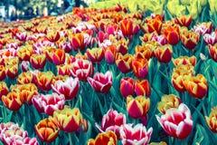 Piękny tulipanowy kwiatu, zieleń liścia tło w ogródzie przy dniem i Fotografia Stock